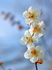 Ume, Japanese plum - by autan