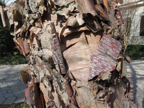 image Betula nigra exfoliating bark