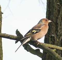 Chaffinch in Russia Dock Woodland