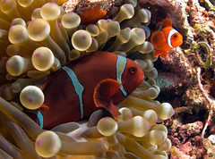 2anemfish0590pcw (gerb) Tags: red orange topf25 beautiful topv111 1025fav 510fav wow indonesia ilovenature topv555 topv333 underwater lovely1 topv1111 topv999 scuba fv5 loveit pi anemone wildanimal blogged topv777 d200 chacha reef topv3333 fins anemonefish manado naturesfinest bunaken 999v9f pfo top20fish 3waychallenge 3wc tvx 3wayicon 3w5 impressedbeauty ultimateshot photofaceoffwinner photofaceoffplatinum pfogold pfop