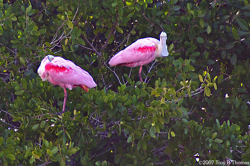 Roseate Spoonbills; Photography by Troy Thomas