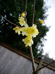 Chimonanthus praecox var. concolor
