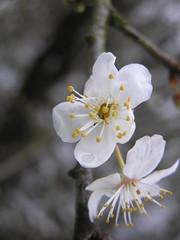 prunus crasifera (Michiel Thomas) Tags: flower primavera spring blumen lente printemps bloesem bloemen tavasz springtime  bloem forr voorjaar kevad pavasaris frhjahr prunuscerasifera  mirabel ilkbahar kerspruim maitiid