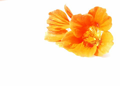 O r a n g E (~FreeBirD~) Tags: light red orange india white hot flower sexy love nature colors nikon d70 4 naturallight mani calm gift buds simple pleasure pleasant newdelhi babbar nikonstunninggallery lovemax manibabbar httpbirdofpreyspaceslivecom httplamenblogspotcom