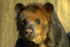 Spectacled bear (ucumari photography) Tags: oso nikon d70s january bandit 2007 anteojos spectacledbear andeanbear osodeanteojos tremarctosornatus ucumari animalkingdomelite ucumariphotography osoanteojos