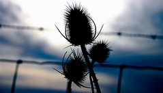 Crowns and Thorns (A New Beginning) (mightyquinninwky) Tags: clouds fence 10 5 barbedwire trophy richmondroad thorns teazels 5faves 10faves abigfave athensboonesboro polstarfave bestofformyspacestation