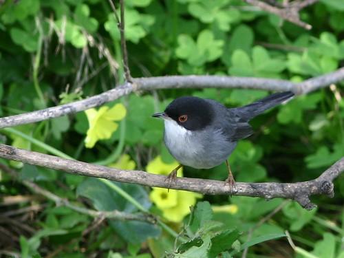 Toutinegra dos valados - Sylvia melanocephala - Sardinian Warbler por Jose Sousa.