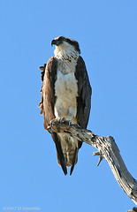 Osprey; Pandion haliaetus (MissionPhotography) Tags: california fruits orangecounty osprey pandionhaliaetus blend bolsachica acai monavie featherfriday