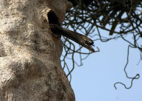 MG Hornbill in the nest (5)