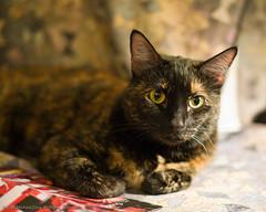 I Vant To Be Alone! (monkeytime | brachiator) Tags: cat fur bed feline tortoiseshell sheets pillow tigger recline marlenedietrich iwanttobealone canon50mmf12l