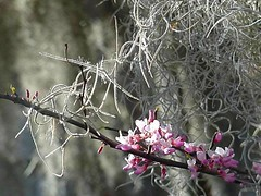 Redbuds with Spanish Moss