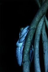 Don't be blue... (Leenda K) Tags: blue night australia treefrog wildlifeofaustralia leendak