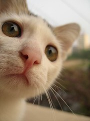 =^.^= Sanssouci - I Love This Face :* (*^ ^* Sherry) Tags: pet baby macro animal cat kitten kat outdoor kitty miao  sanssouci meo mo kiity bestofcats kittyschoice pet500 excellentphotographerawards goldstaraward rubyphotographer lpanimals 5prettykittycommentsparti
