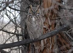 Great Horned Owl (Bubo virginianus) (fugle) Tags: owl bird greathornedowl nevada
