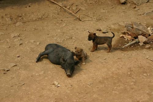 Pig & puppy