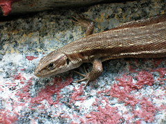 Big Lizard (dwaffie) Tags: macro animal closeup sweden reptile lizard sverige reptil djur ödla summer2006 swedishforestlizard forestlizard svenskskogsödla skogsödla