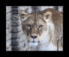 Female Lion (lifecreations) Tags: female canon eos zoo buffalo lion lioness 30d flkwrk