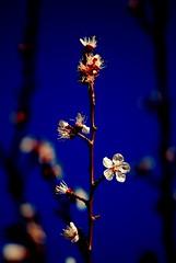 I Use To Have a Crush on The Girl from Blossom....Not Blossom, The Other One (taylorkoa22) Tags: blue newmexico color tree nature saturated nikon colorful albuquerque abq bloom nm crush mothernature blooming marcgutierrez d80 peachithink imactinglikeateenageboy wonderifmywifewillseethis shewontcareaslongasshecandreamaboutnicolascageleonardodicapriooroneoftheotherbastardsshelikeslol