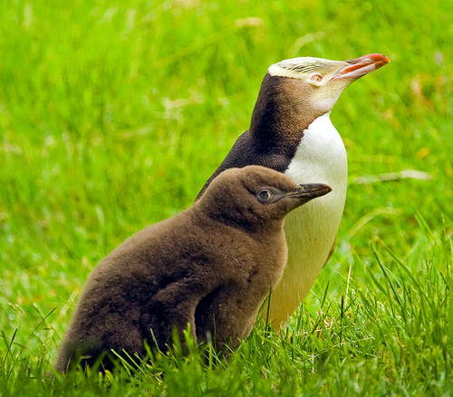 Hoiho or Yellow-Eyed Penguins