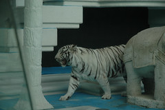 Siegfried and Roy's Royal White Tiger