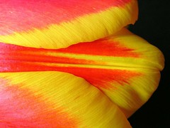 Tulip ( Graa Vargas ) Tags: red flower macro ex yellow explore tulip tulipa excellence interestingness108 i500 graavargas 2007graavargasallrightsreserved 41224290709