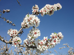 Spring starts in almond blossoms (tochis) Tags: blue espaa white flower color primavera nature lines catchycolors spring spain huesca flor almond almendro almendros ayerbe aragn loarre outdoorbeauty superhearts