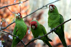 Three Little Parrots - by gwen