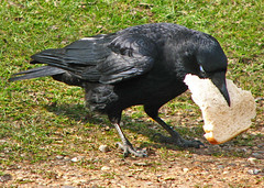 the crow takes the bread