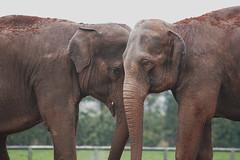 Head to Head (BigTel) Tags: elephant nature animal canon eos wildlife wildanimals twycross twycrosszoo indianelephants canonef70200mmf28lisusm 400d