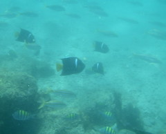 fish seen while snorkeling in Sea of Cortez