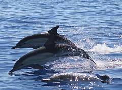 Delphinus Delphis (PedroMadruga) Tags: ocean sea wild mammal dolphin wildlife azores aores golfinho abw commondolphin mamifero cetaceos toninha pedromadruga southofpico golfinhocomum toninhamansa
