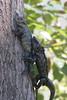 amorous iguanas (seanhoyer) Tags: 20d animals canon mexico wildlife pair jalisco yelapa mating mate lizards reproduction iguanas herps copulation animalsmating location:country=mexico