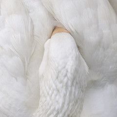 Dreaming beauty (cattycamehome) Tags: sleeping white bird birds tag3 taggedout neck geese bill wings bravo soft tag2 all peace tag1 head quote sleep quality  interestingness1 beak feathers dream feather down goose dreaming rights dreamy delicate reserved gentle reverie anaisnin catherineingram blueribbonwinner magicdonkey outstandingshots animalkingdomelite abigfave artlibre march2007 cattycamehome superbmasterpiece allrightsreserved top20white