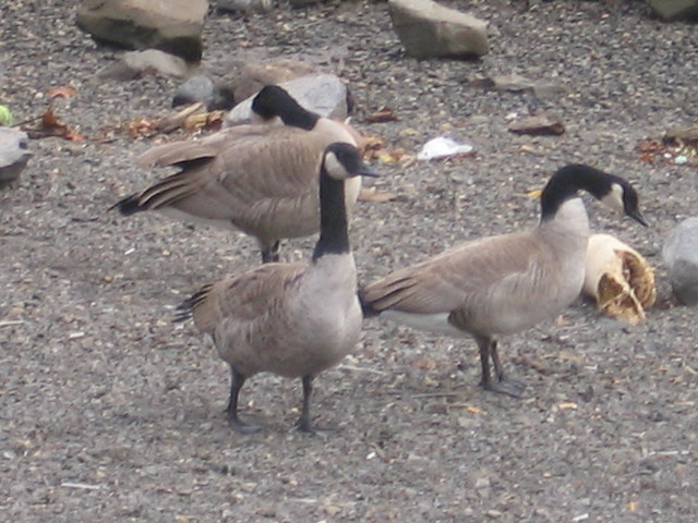 waterfront geese