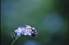 (rosemary*) Tags: blue flower film topf25 500v20f f3 2007 excellence 4月 tamron90 impressedbeauty わすれなぐさ