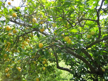 (.28-3) under the lime tree, where you an't walk