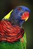 Rainbow Lorikeet (RtOaNn) Tags: color colour colors birds singapore colorful colours lorikeet colourful jurongbirdpark parrots 1on1colorfulphotooftheday 1on1colorfulphotoofthedayapril2007