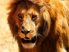 King [ of the ] Land (| HD |) Tags: africa portrait animal hair king kenya wildlife lion jungle mara hd predator darwish hamad masai teech specanimal animalkingdomelite