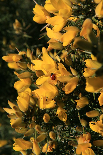 Gorse and Ladybird