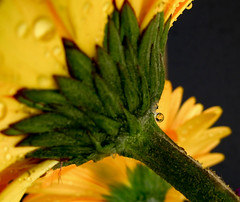 Joy (KaroliK) Tags: reflection yellow spring waterdrop searchthebest gerbera daisy supershot abigfave diamondclassphotographer flickrdiamond flowerdaisygerbera