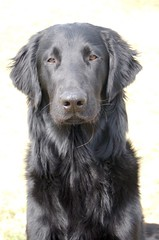 Time flies... (catorikennels) Tags: retriever flatcoat rookie 9monthsold