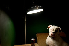 Luna Lounges (Matt Niemi) Tags: dog beer lamp luna sleeman americanbulldog