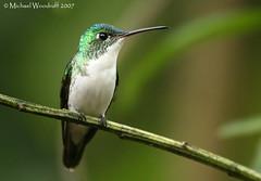 Andean Emerald (Michael Woodruff) Tags: bird birds ecuador hummingbird quality birding cloudforest hummer emerald andean subtropics tandayapa tandayapavalley agyrtria colorphotoaward avianexcellence nwecuador andeanemerald agyrtriafranciae amaziliafranciae