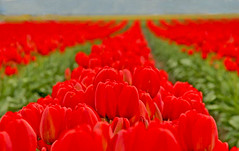 As Far as the Eye Can See (Peggy Collins) Tags: flowers red washington tulips beds rows soe skagitvalleytulipfestival interestingness136 i500 shieldofexcellence explore
