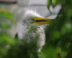Great Egret Chick (trykemom) Tags: birds chicks greategrets diamondclassphotographer gatorlandrookery