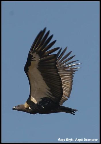 White rumped Vulture