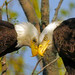 Male and Female Bald Eagle by Jim Sullivan