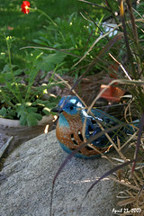 My Blue Bird (redhatgal ~ Barbara Butler/FireCreek Photography) Tags: ca garden spring bluebird bakersfield gardenart kerncounty womenphotographers redhatgal kerncountyphotogaphers kerncountyphotograhpers redhatal