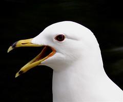 Sadie The Singing Albatross - by MrClean1982