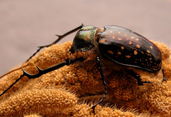 長臂金龜 / Long Arm Beetle - by TotalEclipse